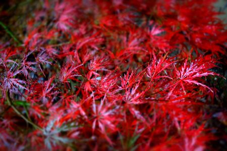 japanese maple: Autumn Japanese Maple Stock Photo