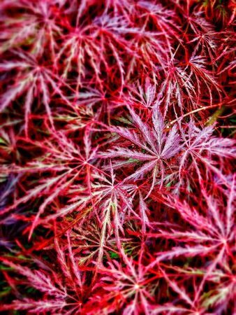 japanese maple: Japanese Maple Bouquet