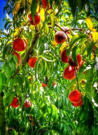 picking: Peach Picking Time