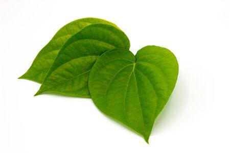 Fresh Piper betel leaf on white background