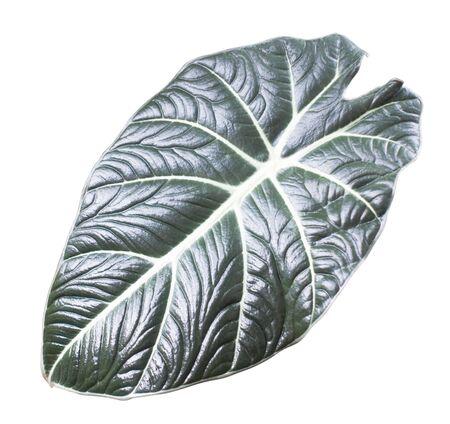 Caladium bicolor on a white split background.
