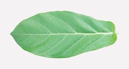 Calotropis gigantea Leaves on white background