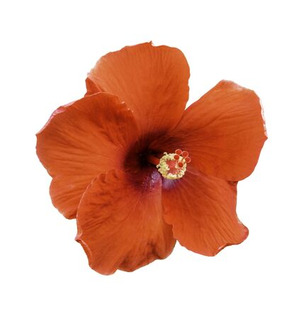 Hibiscus flowers on a white isolated background Stock Photo