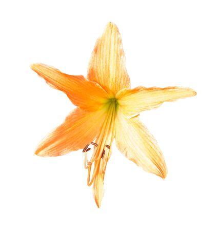 Hippeastrum or Amaryllis flower , Orange amaryllis flower isolated on white background Stock fotó