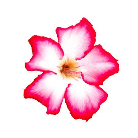 Azalea flowers isolated on white background. Stock fotó
