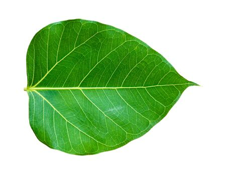 Pho tree leaves  On a white background