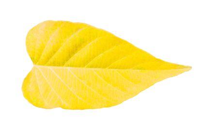 Wilted teak leaf isolated on white background Stock fotó