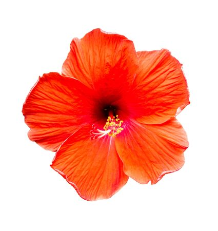 Hibiscus flowers on a white isolated background Stock fotó