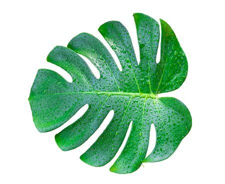 Monstera leaf and stem, trendy tropical jungle paradise foliage shape, isolated on white background Stock fotó