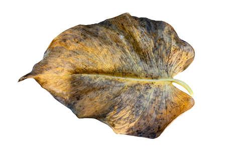 Wilted teak leaf isolated on white