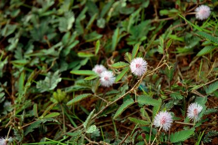 furl: Mimosa-Pudica flower,a kind of wild flowers which, when touched its leaves to furl