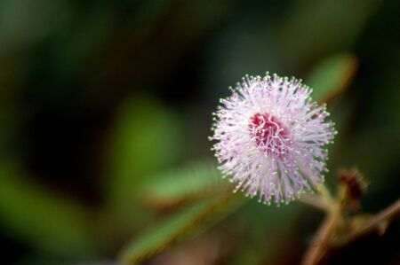 Mimosa-Pudica flower,a kind of wild flowers which, when touched its leaves to furl photo