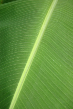 texture and pattern detail banana leaf photo