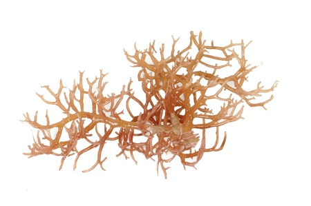 algaes: fresh bright brown seaweed isolated on white background Stock Photo