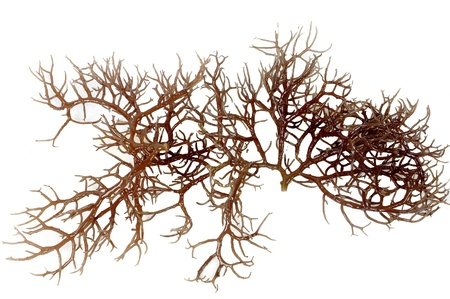 fresh dark brown seaweed isolated on white background