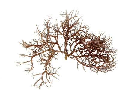 fresh dark brown seaweed isolated on white background