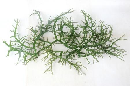Algas verde fresco Foto de archivo - 11888148