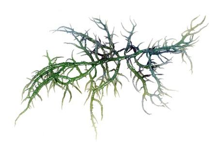 alga marina: algas verdes frescas aisladas sobre fondo blanco Foto de archivo