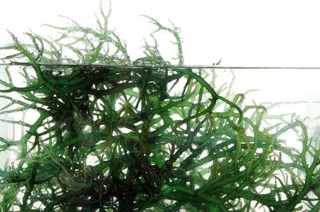 algen: verse groene zeewier in het water op een witte achtergrond Stockfoto