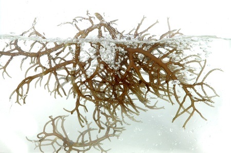 fresh brown seaweed in the water isolated on white background photo