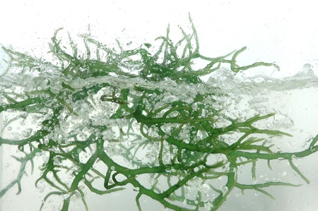 algaes: fresh green seaweed splash into the water  Stock Photo
