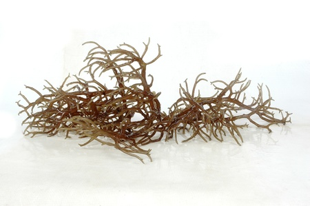 fresh brown seaweed with reflection isolated on white background