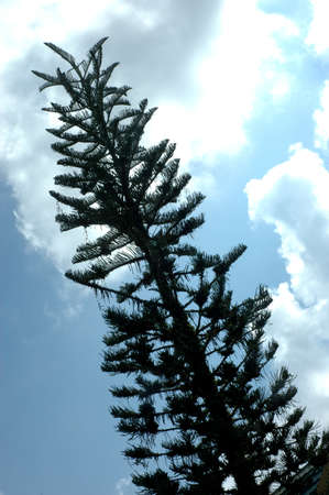 spruce photo