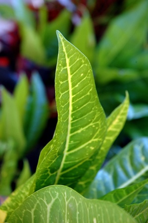 detail of tropical croton plants leaf photo