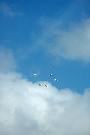 flock of white birds flying in the blue sky Stock Photo - 14222104