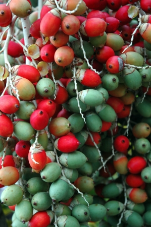red and green betel nut photo