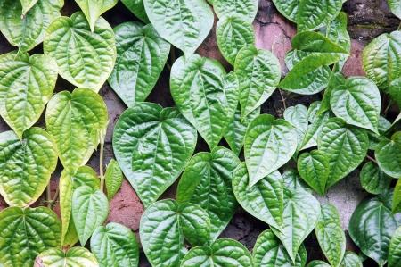 hedge of green leaf photo
