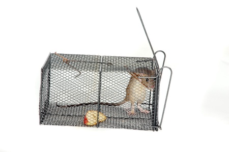 a rat in a metal trap with pieces of apple as bait Stock Photo - 15922368