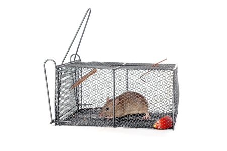a rat in a metal trap with pieces of apple as bait