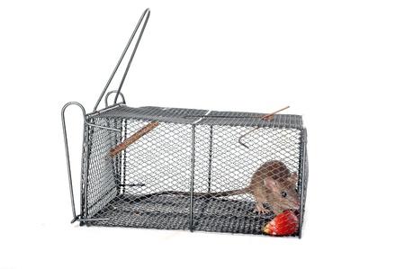 Una rata en una trampa metálica con trozos de manzana como cebo Foto de archivo - 15917871