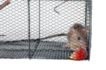a rat in a metal trap with pieces of apple as bait Stock Photo - 15922399
