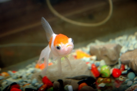goldfish in aquarium photo