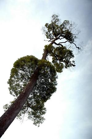 towering: huge trees towering against blue sky