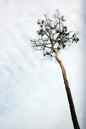 towering: enormes �rboles que se elevan contra las nubes