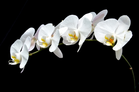 moon s orchid  Phalaenopsis amabilis   on black background photo