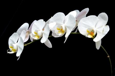 moon s orchid  Phalaenopsis amabilis   on black background