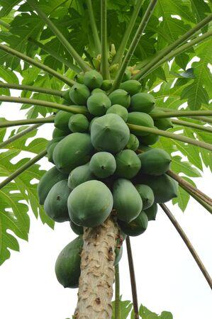 papaya tree: green papaya fruit