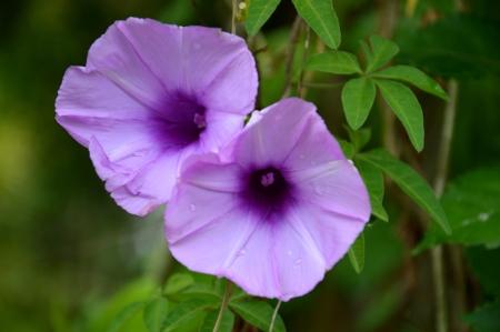 twining: purple convolvulus sabatius Stock Photo