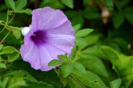 convolvulus: purple convolvulus sabatius Stock Photo