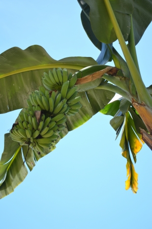 banana trees with bunches of fruit photo