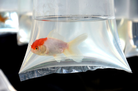 goldfish in plastic container photo