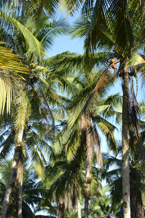 coconut tree in countryside photo