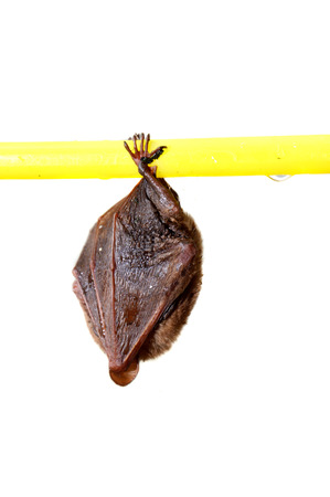 depends: little bat sleep depends on the yellow hanger isolated on white background