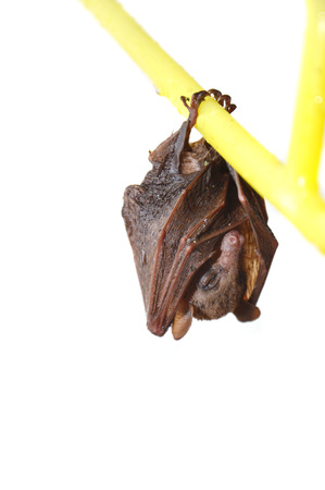 little bat sleep depends on the yellow hanger isolated on white background photo