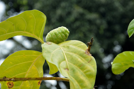 noni fruit: noni fruit (Morinda citrifolia)