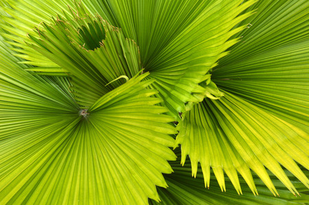 detailed pattern and texture of green palm leaf Stock Photo - 23528273